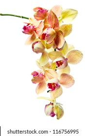 orchid isolated on a white background , (phalaenopsis)