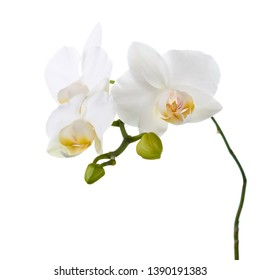 Orchid isolated on white background. Closeup.