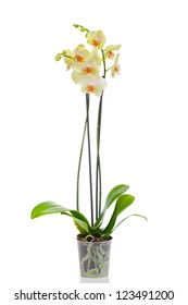 Orchid isolated in white