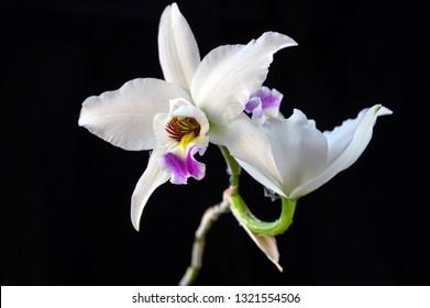 Orchid: Laelia anceps fma. semi-alba 'Ruby in snow' BM/JOGA