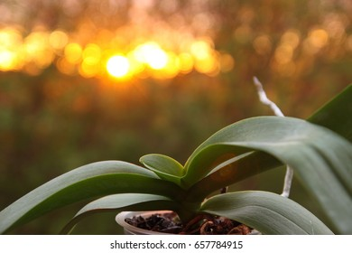 Orchid leaves and blur background with orange natural flare light from midnight sun in northern Norway