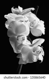 Orchid Macro - Purity