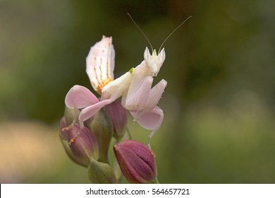 Orchid Mantis mimicking orchid flower