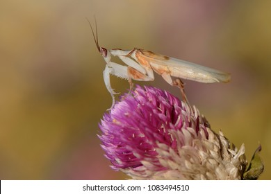 Orchid mantis with skin dry leaf
