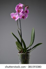 Orchid on a gray background