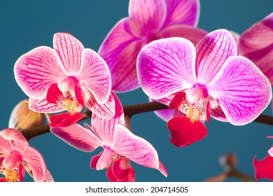 Orchid Phalaenopsis Beautiful blooms of the phalaenopsis pink orchid, with a blue background.