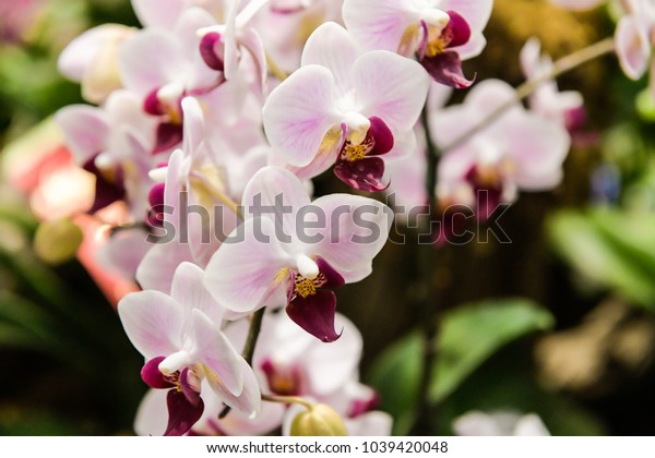 Orchid Phalaenopsis known as moth orchids.  It is the most common orchid due to its ease of production and the availability of blooming plants year-round