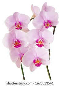 orchid Phalaenopsis with pink flowers