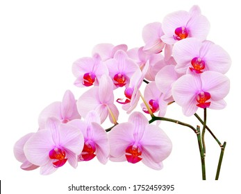 Orchid Phalaenopsis with pink flowers isolated