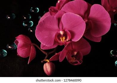 Orchid Phalaenopsis Vivaldi magenta