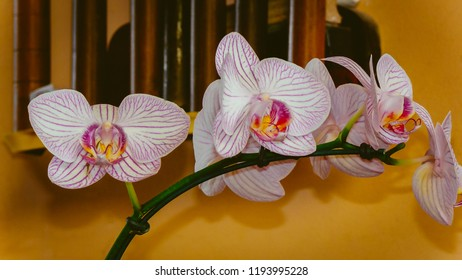 Orchid Phalaenopsis, Phalaenopsis x hybridus, shrubs belonging to the family Orchidaceae of tropical regions, originating in Oceania and Polynesia