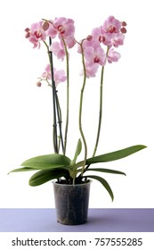 orchid with pink flowers isolated