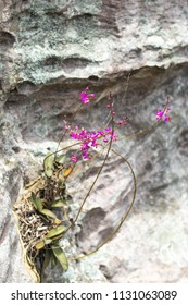 Orchid Pink on the stones in garden.