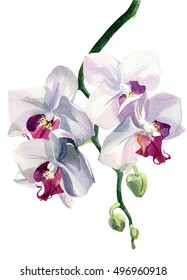 Orchid pink, painted with watercolors on white background. Four bud on a green stalk.