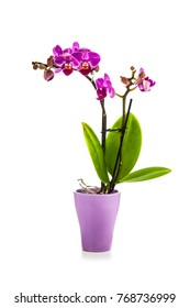 Orchid in pot isolated on a white background. Beautiful indoor flowers close-up. Gift.