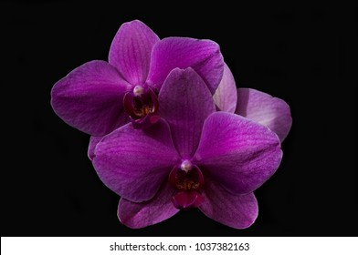 orchid of purple color, isolated on black background. close-up