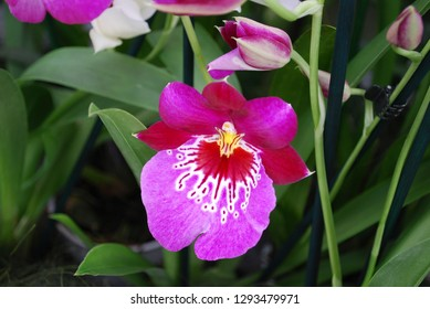 Orchid Red Tide Miltonia flower. Decorative plants for gardening and greenhouse.