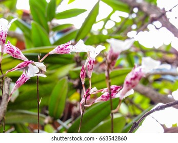 HOA GIEO TỨ TUYỆT 2 - Page 42 Orchid-rodriguezia-decora-260nw-663542860