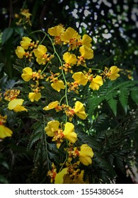 Orchid for sale It is a cultivar that is easily Crown and cared for.  Shaped from a short stalk and with a sheath covering the yellow flowers