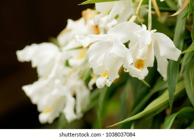 orchid species Coelogyne cristata yellow flower branch closeup isolated on white, exotic pot plant on a windowsill isolated on black