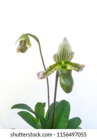 Orchid species Paphiopedilum bacanum