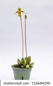 Orchid species Paphiopedilum bullenianum