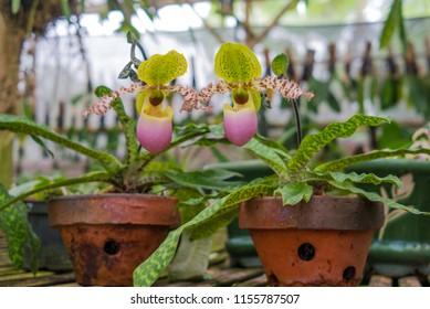 Orchid Species Paphiopedilum dodyanum