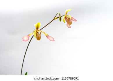 Orchid species Paphiopedilum lowii
