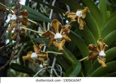 Orchid species Vanda sumatrana