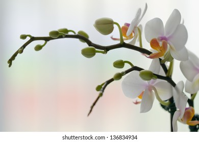 Orchid for Table Setting