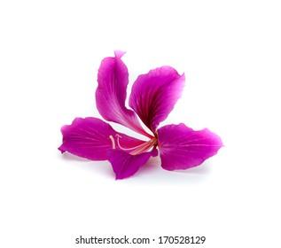 Orchid Tree, Purder,CAESALPINIACEAE