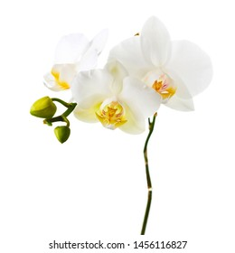Orchid twigs isolated on white background. Closeup.