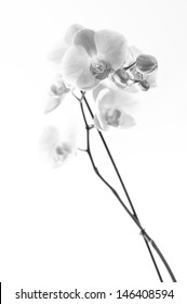 Orchid and white