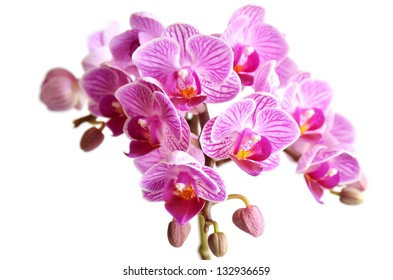 orchid in a white background