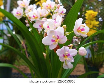 Orchidaceae. vanda orchids are available in pink, white, and red. Beautiful flower garden. Orchid garden. And rare orchid species.