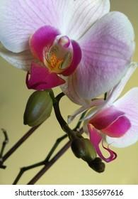 Orchidee Rose abstrakt