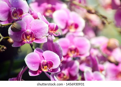 Orchids close up ,Chiangmai Thailand, Thai orchids. Pink Phalaenopsis orchids hybrid close up.