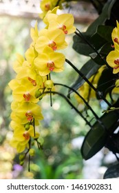 Orchids close up ,Chiangmai Thailand, Thai orchids. Yellow Phalaenopsis orchids hybrid close up.