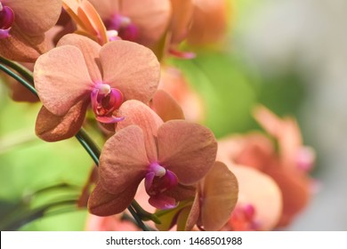 Orchids close up at Chiangmai Thailand, Thai orchids. phalaenopsis orchids hybrid