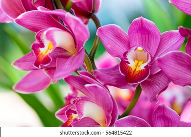 Orchids close up at Royal Rajchapuak Park 2017 ,Chiangmai Thailand, Thai orchids. Cymbidium hybrids Orchids.