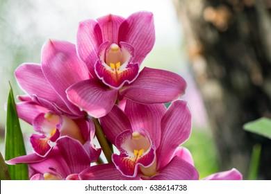 Orchids close up at Royal Rajchapuak Park 2017 ,Chiangmai Thailand, Thai orchids. Cymbidium hybrids Orchids.