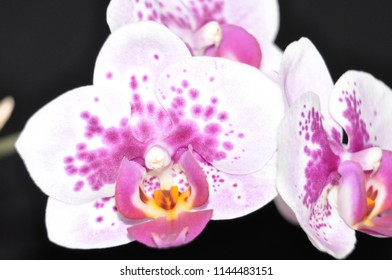 orchids close white and purple