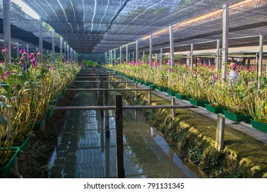 orchids cultivations bangkok capital of thailand asia