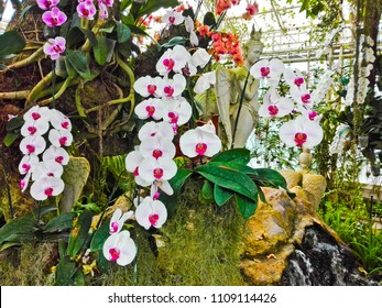 Orchids flower, orchids closed up,,at flora park in Buriram, Thailand.