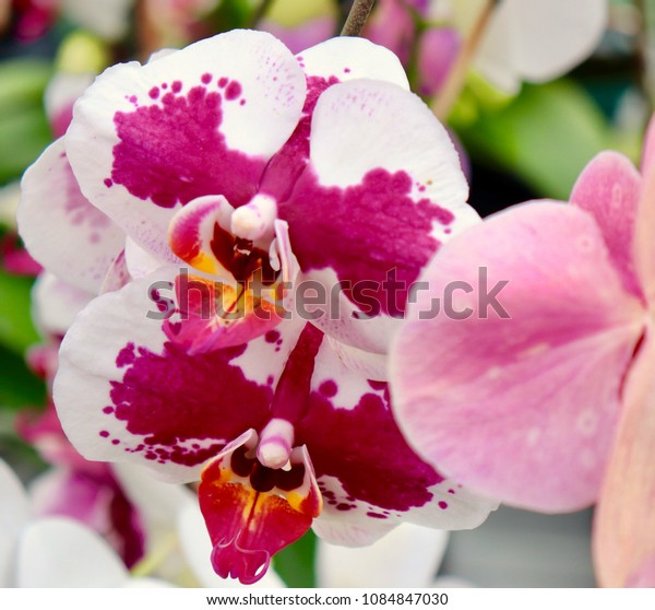 Orchids in hot pink