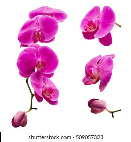 Orchids isolated, multiple orchids isolated on white background, Vanda orchids, violet orchids, macro orchids, orchid with pollens.
