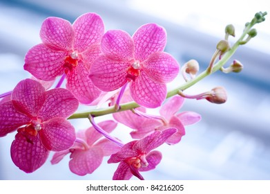 Orchids in Pink