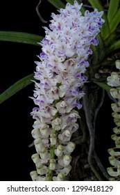 Orchids species Rhynchostylis retusa