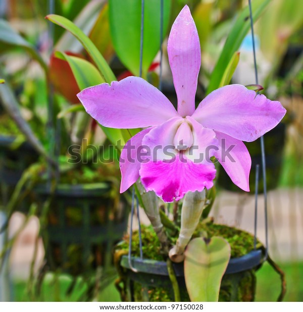 Orchids in Thailand