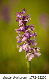 Orchis morio. Nature of the Czech Republic. Czech orchids. Free nature. Beautiful picture. Plant. Sunrise. Sunset.